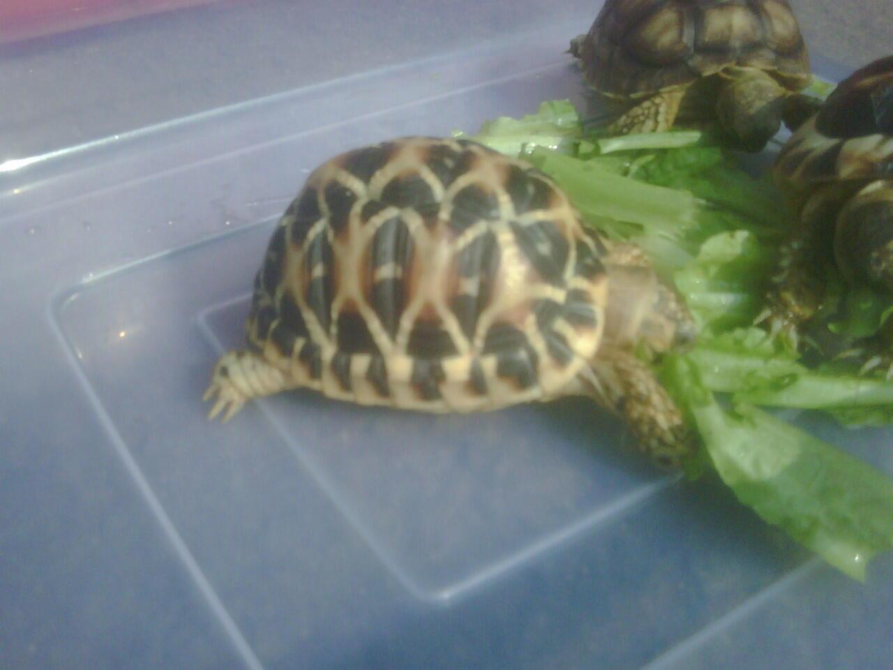 Wts Kura Darat / Tortoies Indian Star 2 ekor