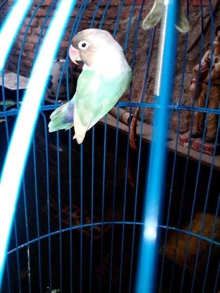 love bird pastel biru
