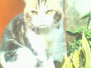 Kucing Persia Pejantan Tangguh Bdg Aja