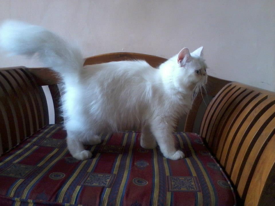kucing Pignose Cakeep