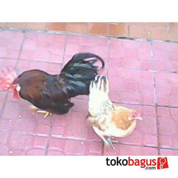 Ayam Kate 5 ekor