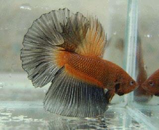 microworm makanan anakan ikan yg tidak pernah habis