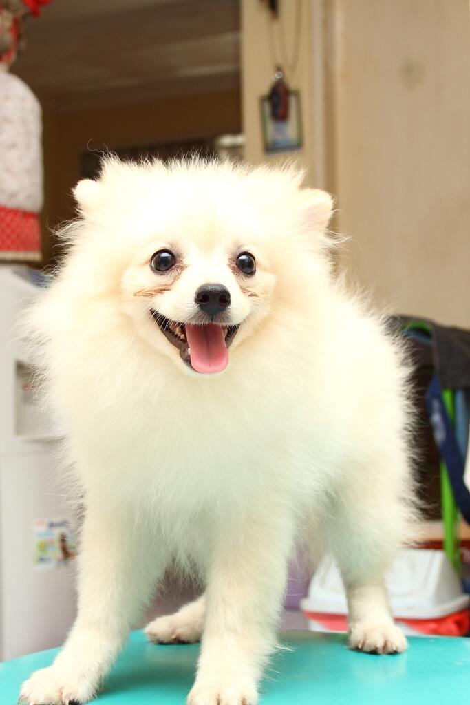 [WTS] Jual 2 ekor anjing RAS Pomerian usia 4 bulanan SBY