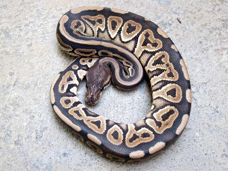 cinnamon ball python female for sale