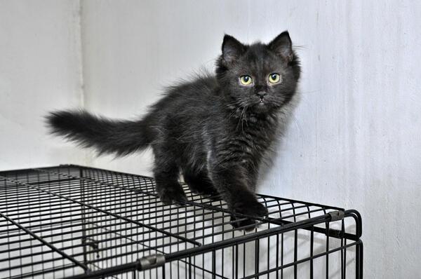 Silahkan Adopt : Persian Kitten Solid Black Unyu-Unyu