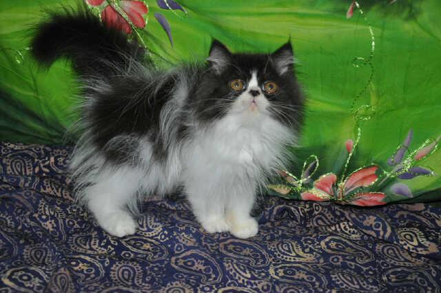 BIG SALE ! menyambut akhir tahun kitten anakan pedigree murah bandung (grab it fast)