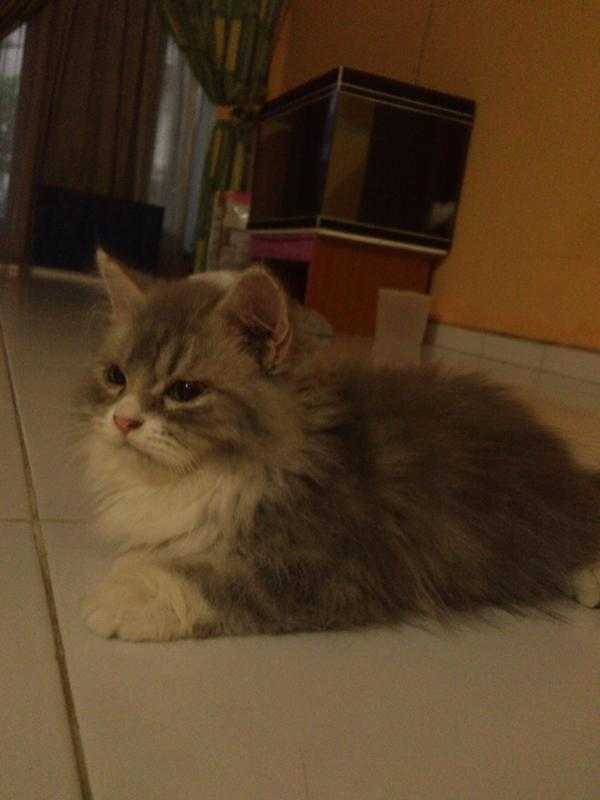Ready to adopt Kitten Persia Medium