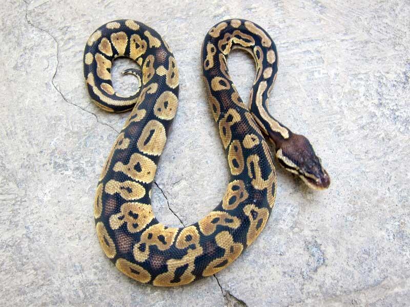 wts: ball python pastel betina
