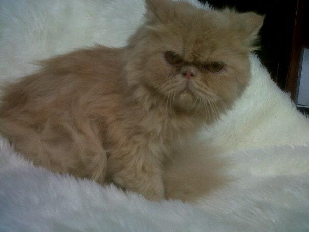 kucing persia pesek/pignose/pekenose long hair betina daerah magelang,jogja