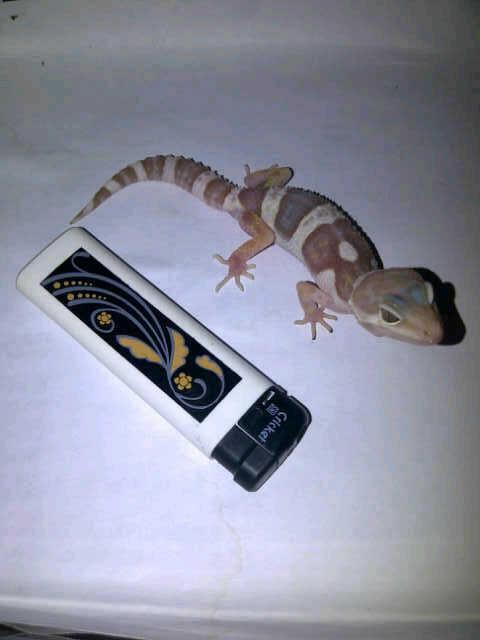 [Gecko] macksnow tremper maknyooss