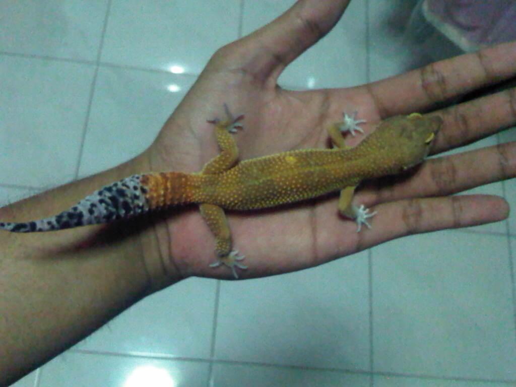 lelang gecko sepasang indukan surabaya