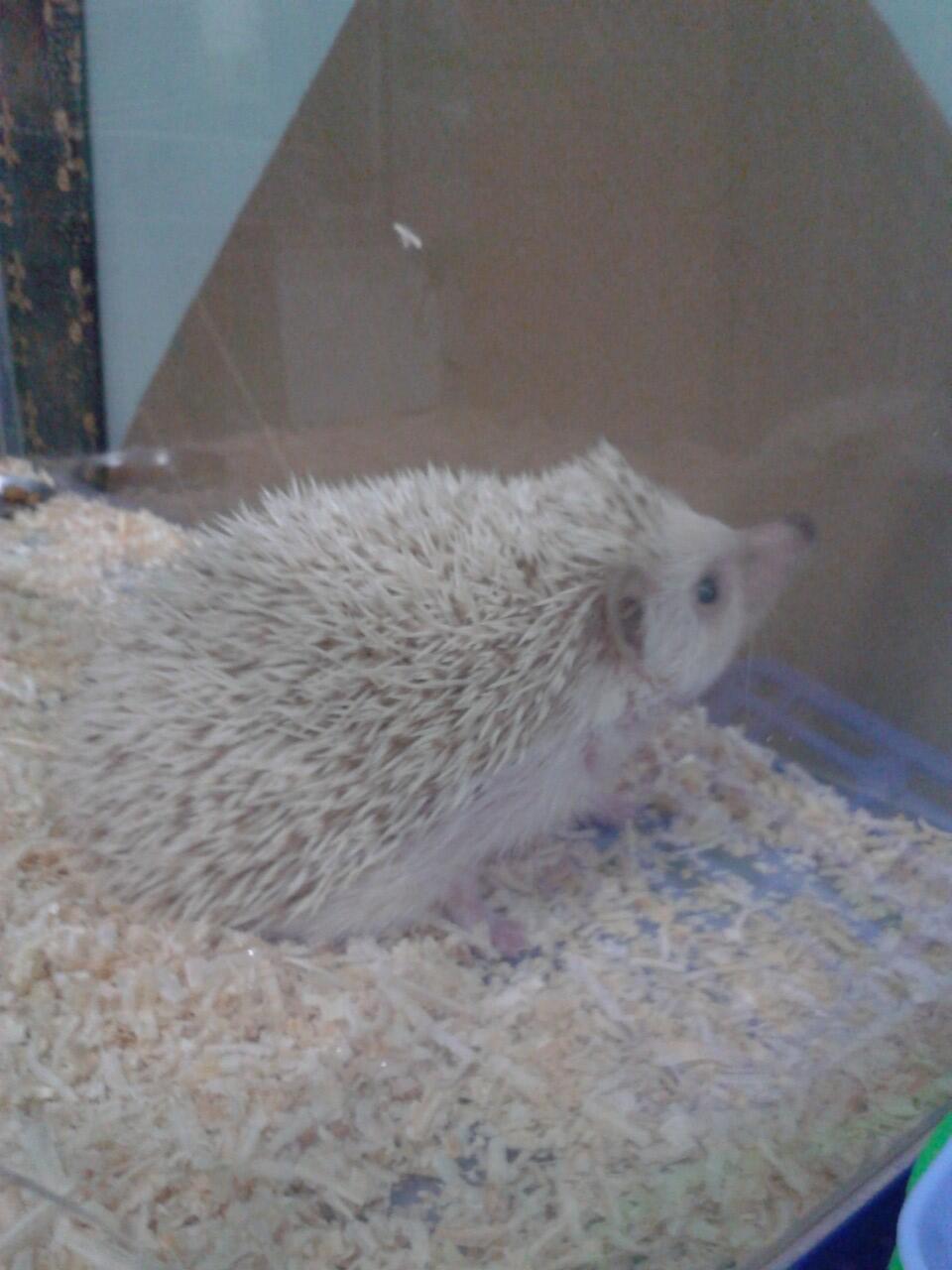 WTS Landak mini (hedgehog) brown white jantan bekasi !(COD ONLY)