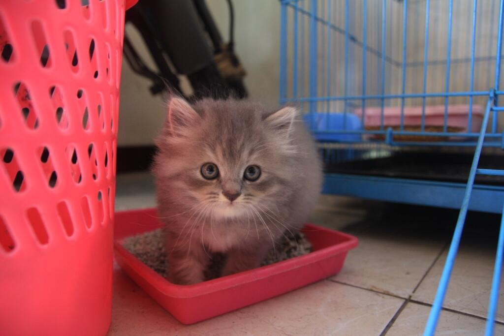 Kucing persia 2 bulan lucu JOGJA
