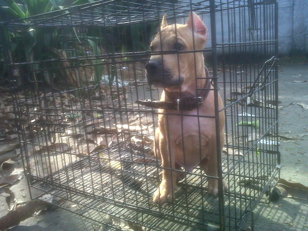for sale anjing pitbull x bully top quality. bisa barter/TT dengan puppies rottweiler
