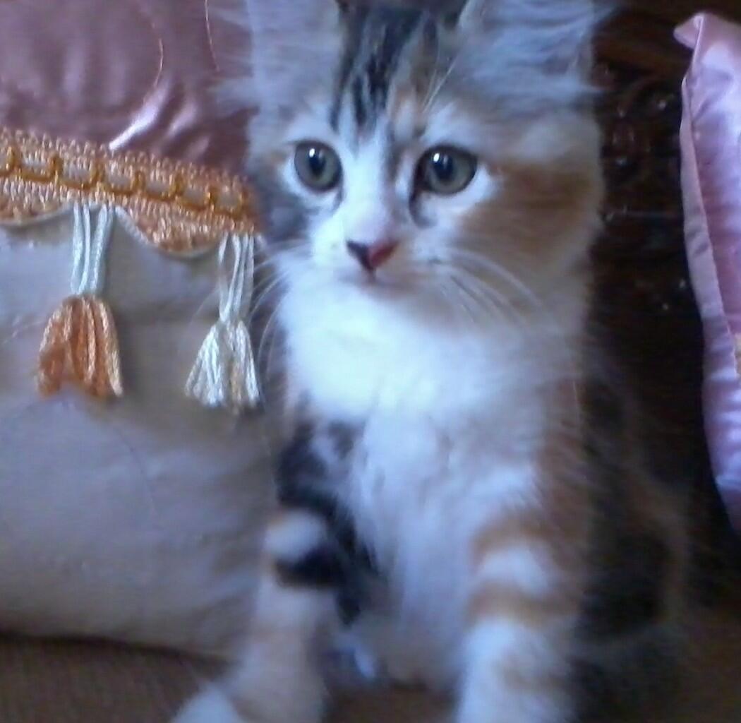 Kitten Persia pet quality CALICO (Belang Telon)