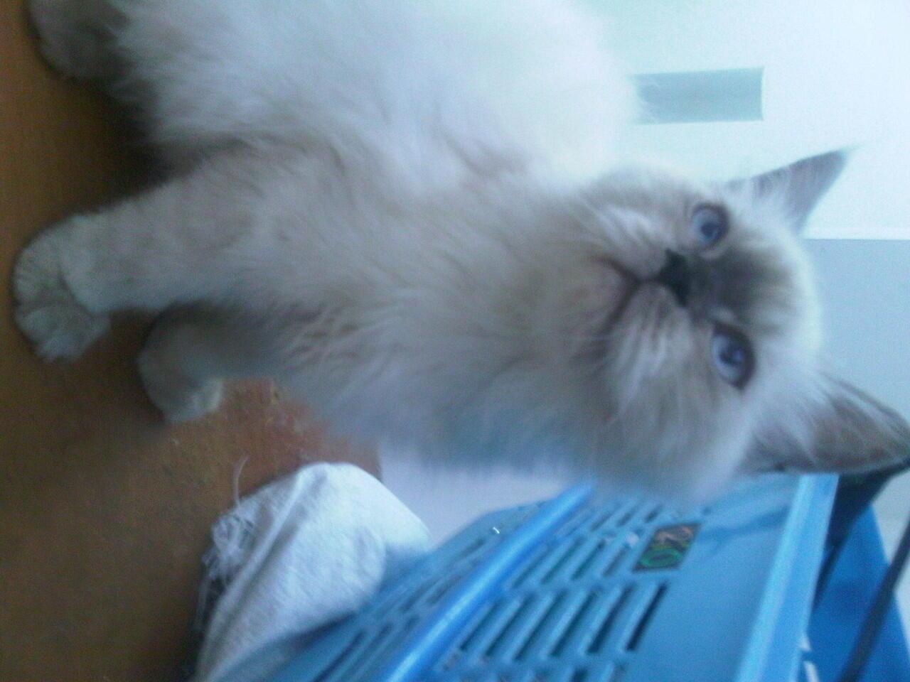 kitten himalaya borongan