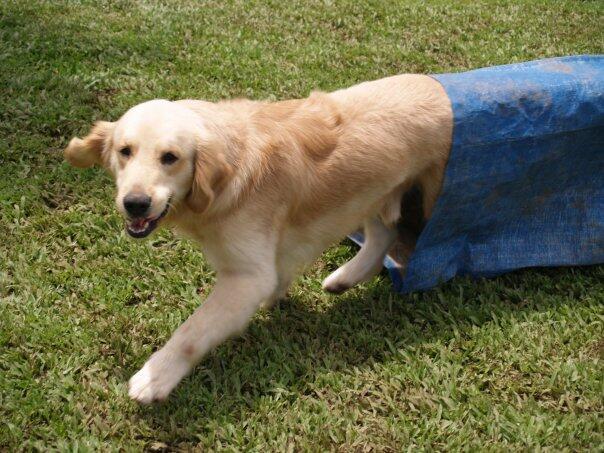 Jasa Dog Show