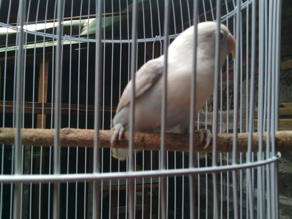Jual LOVEBIRD Pastel Putih gan (Betina 6bln UP) kmungkinan bisa kluar ALBINO loh :)
