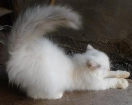 Kucing Persia Medium usia 2 bulanan