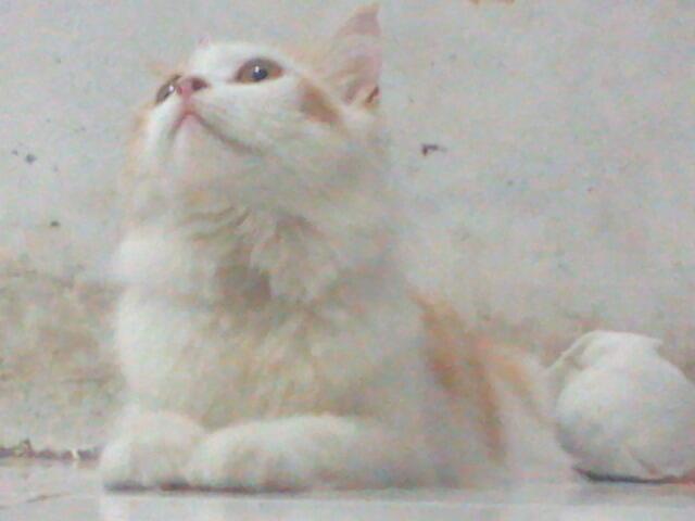 Dijual kucing Anggora Betina