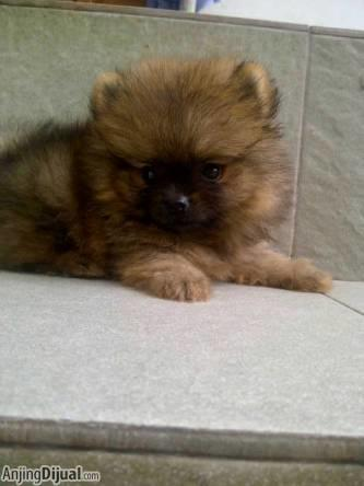 super mini pom male cute abis....bearface