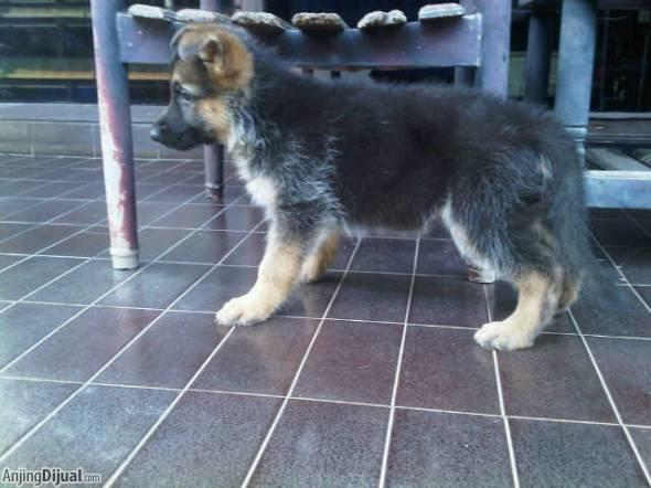 3 ekor female puppies herder (german sherpherd dog /GSD/AGJ) harga terjangkau