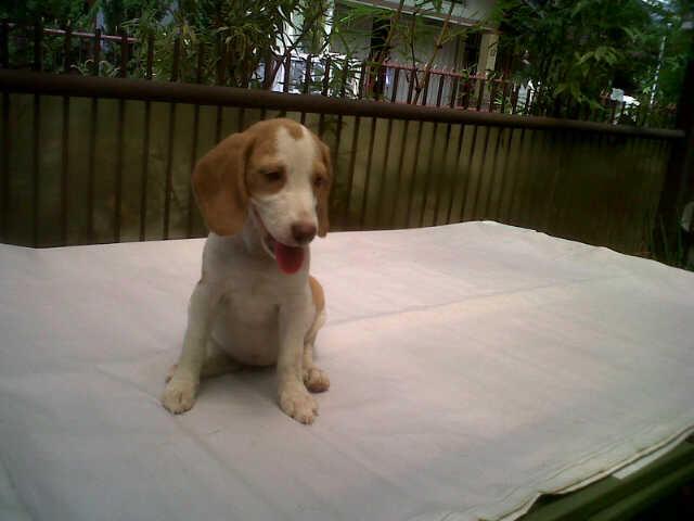 sale 5 ekor puppy beagle istimewa