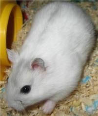 Hamster ww Pearl Murah!!