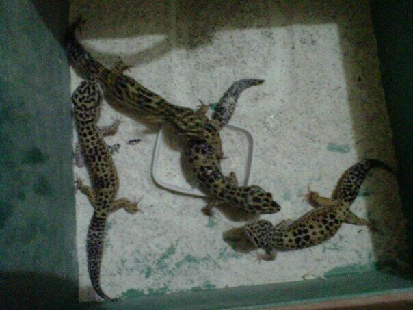 Paket indukan Gecko muraaaaaaah