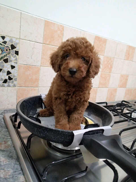 3 Red Toy Poodle Male