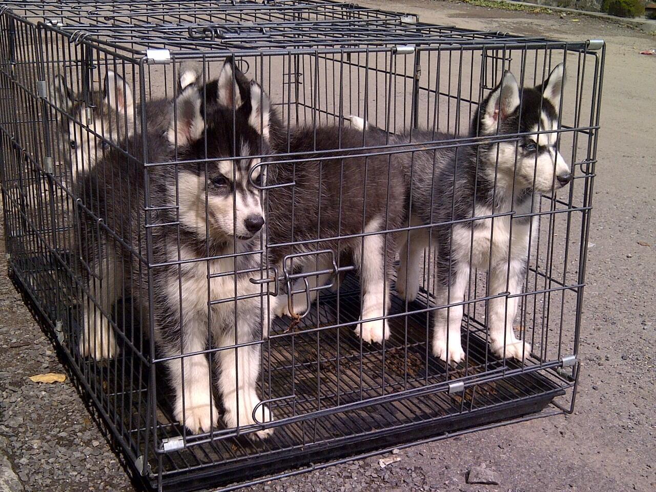Jual : Anakan Siberian Husky - Bandung