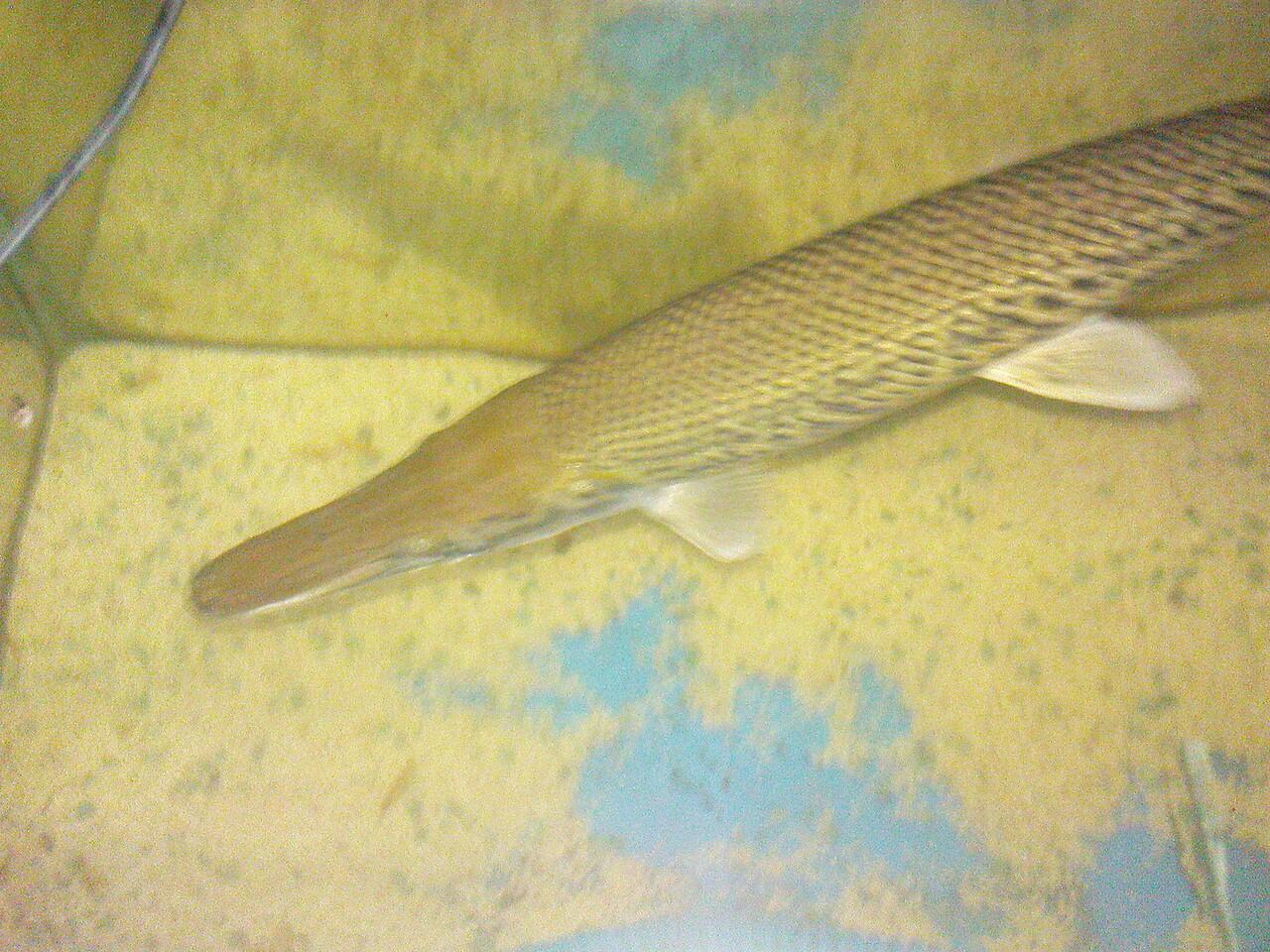 Ikan predator, arwana silver,aligator,belida
