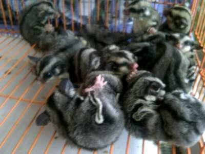"WTS ⪯ ORDER :SUGAR GLIDER JOEY & 3BULAN UP ""MURMER"""
