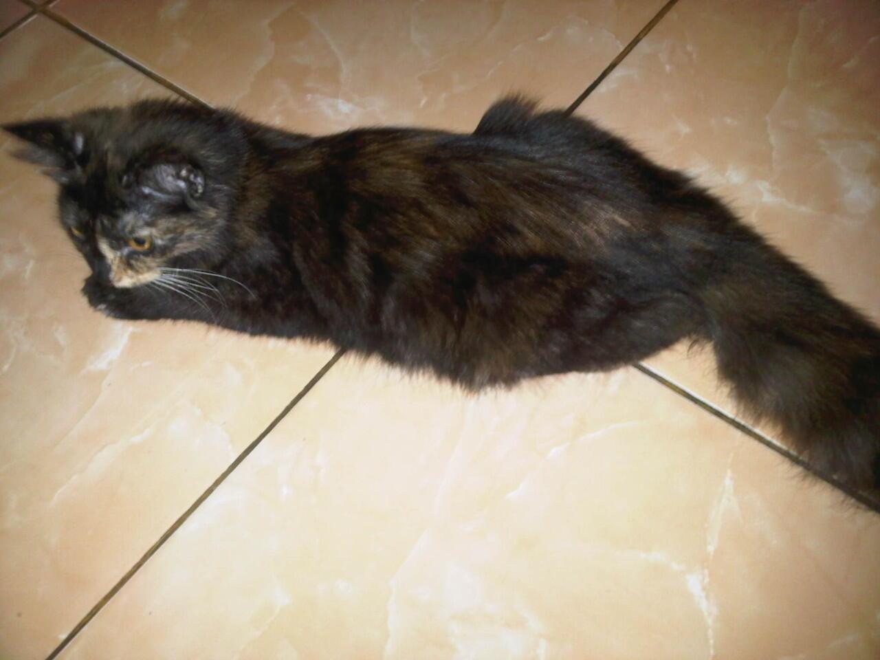 kucing persia mix anggora nego