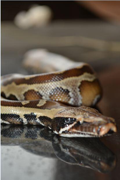 Jual ular Dipong / Blood Phyton Bandung only