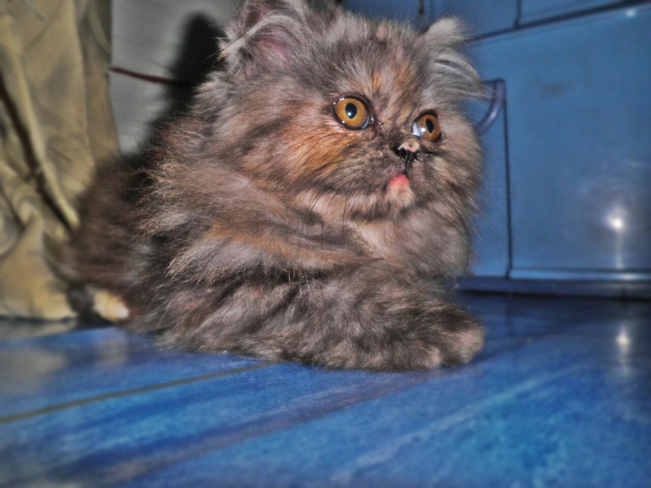 JUAL Kucing Persia Flat Nose ( Bandung )