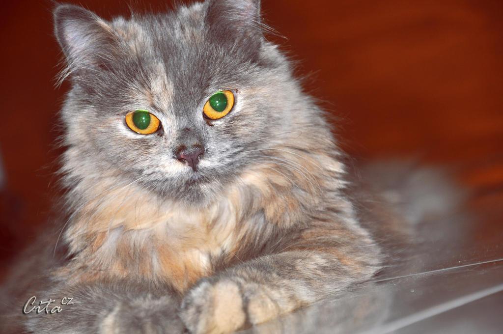Kucing Persia Medium Hilang
