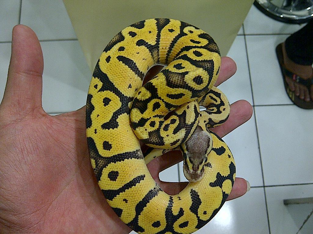 Ball Python Firefly Male Ball Phyton