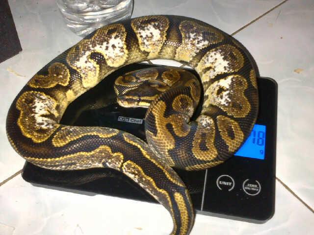 Ball Python Lesser Platinum, Pewter, Sugar Male Siap Kompoi