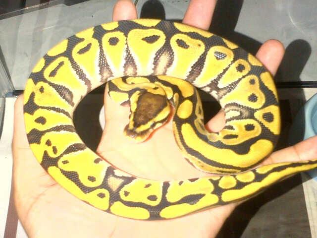 Ball Python Desert Female Ball Phyton