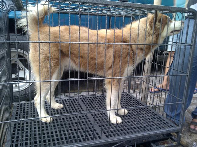 Siberian Husky calon indukan Istimewa