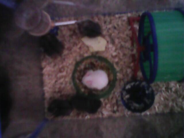 [WTS] 5e anakan Hamster Campbell umur 1 bulanan