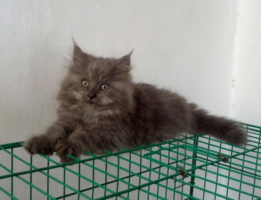 Kitten Jantan 3 bulan