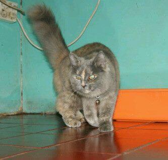 Jual kucing persia mix anggora mumer