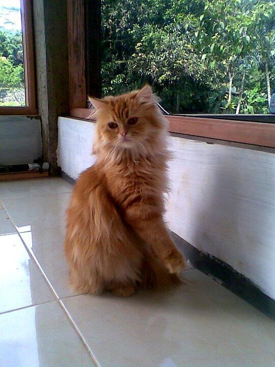 Terjual Hibah Kucing Persia Medium Plus Kandang Khusus