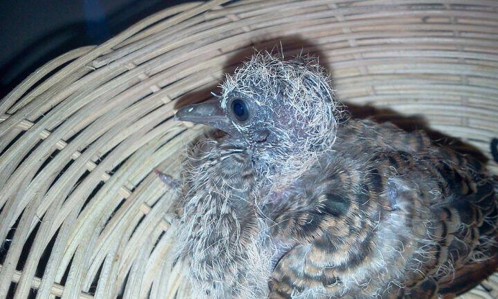Burung Perkutut Tangerang Selatan