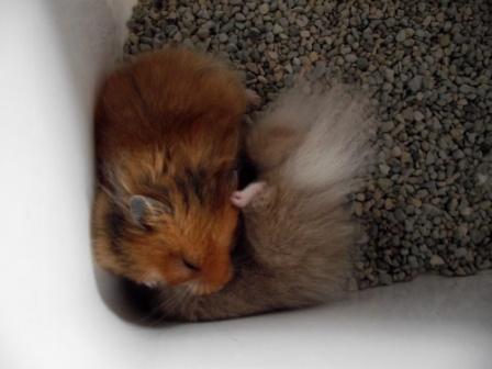 Terjual Jual Murah Hamster Syrian Long Hair Zeolit