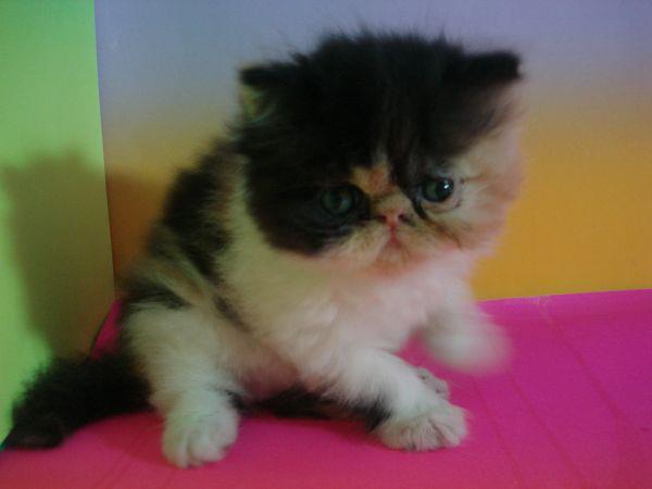 kucing persia peak nose DLL MURMER!! Bisa kirim ke SEMARANG, BOGOR, DKI,BDG