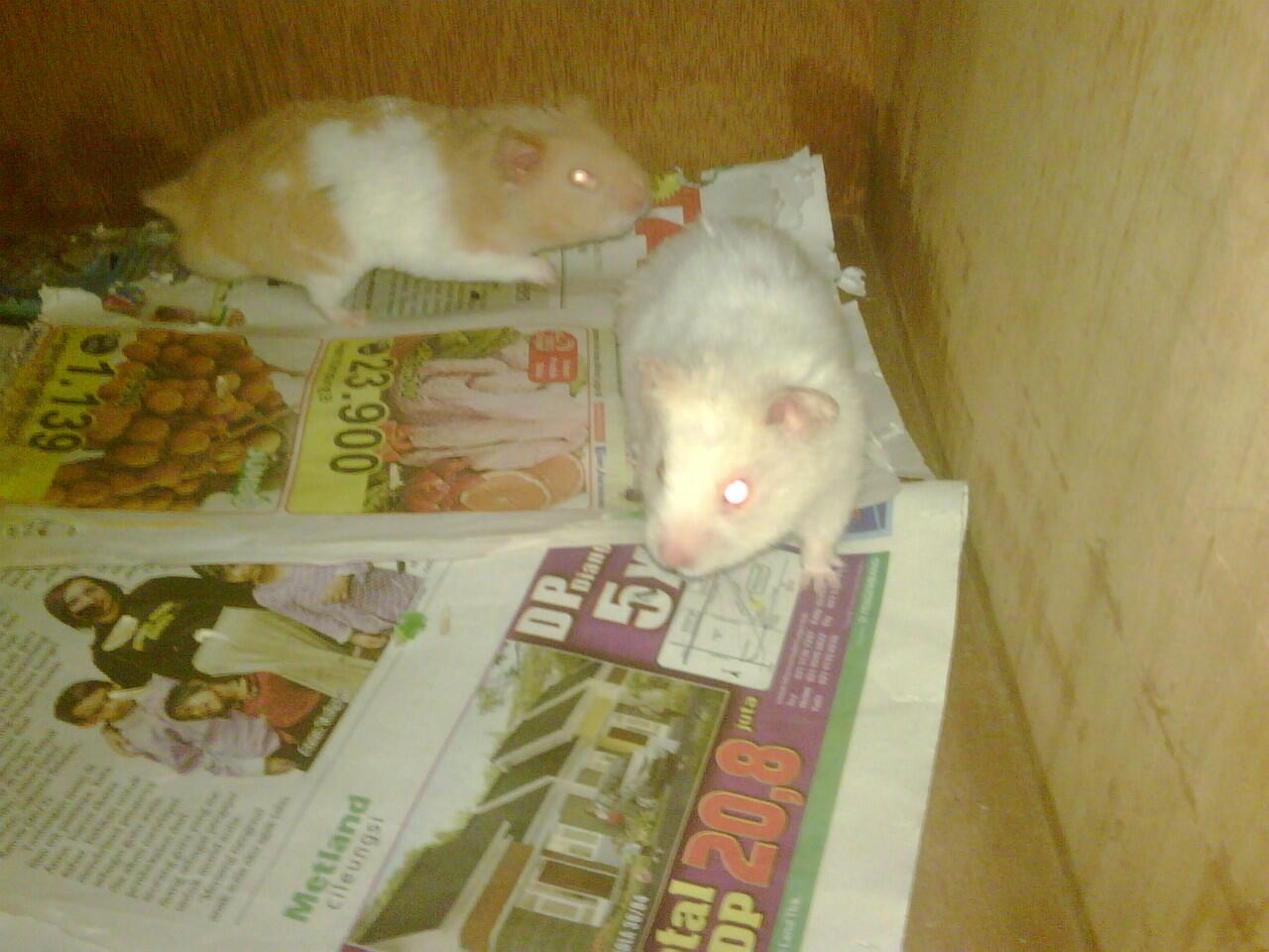 Jual Hamster