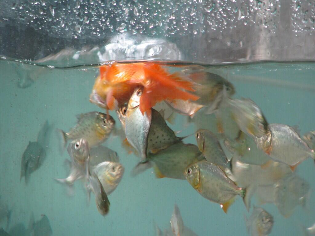 Jual ikan piranha